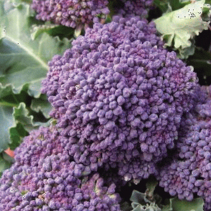 early-purple-sprouting-broccoli-seeds
