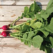 Early-Scarlet-Globe-Radishes.jpg