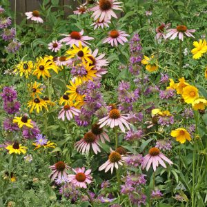 Eastern Pollinator WIldflower Seeds