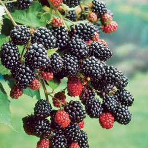 Ebony_King_Blackberry_Plant-1.jpg