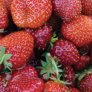 Eversweet-Strawberry-Plants.jpg
