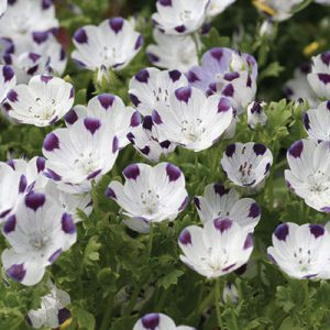Five-Spot-Nemophila-Seeds.jpg