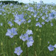 Flax-Cover-Crop.jpg