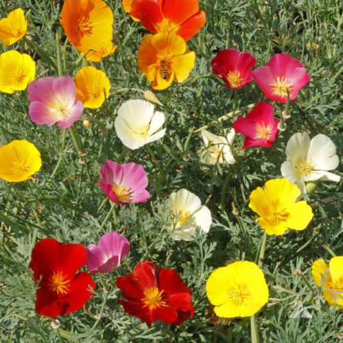 Formula mix poppy seeds urban farmer seeds formula mix poppy seedsg mightylinksfo
