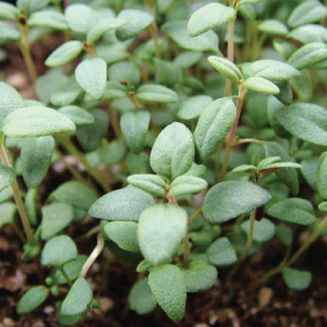 French-Thyme-Seeds.jpg