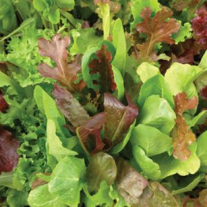 Garden-Lettuce-Mix-Seeds.jpg