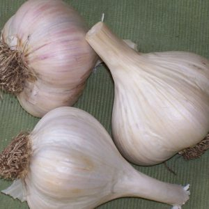 Georgian-Crystal-Garlic-Bulbs