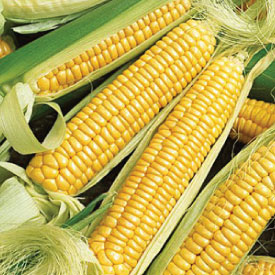 Golden-Bantam-Corn.jpg
