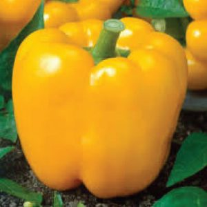 Golden-Cal-Wonder-Pepper-Seeds.jpg