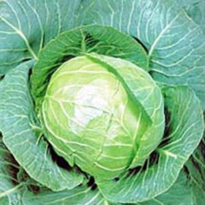 golden_acre_cabbage