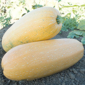 Goldetti F1 Winter Squash