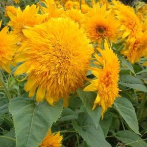 Goldie F1 sunflower