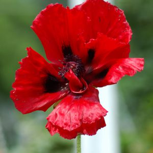 Great_Red_Poppy.jpg