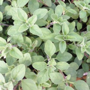 Greek-Oregano.jpg
