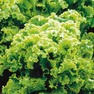 green_ice_lettuce_seeds