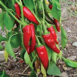 Guajillo-Pepper-Seeds.jpg