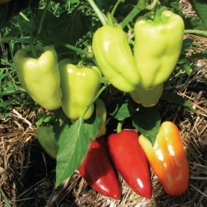 Gypsy-Pepper-Seeds.jpg