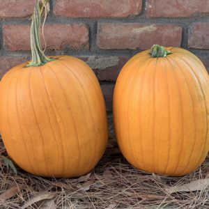 Harvest King Pumpkin