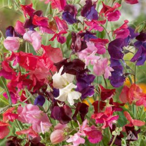 Heirloom-Mix-Sweet-Pea-Seeds.jpg