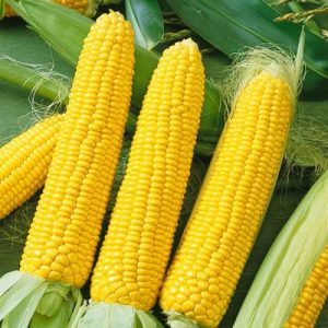 Honey_Select_Sweet_Corn.jpg