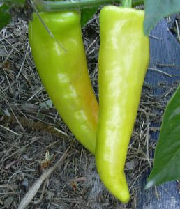 HungarianYellowWaxPeppers.jpg