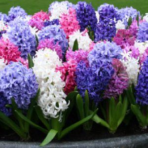 Hyacinth-Mix-Bulbs.jpg