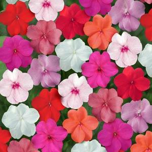 Impatiens_Super_Elfin_Mix.jpg