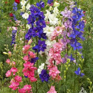 Imperial-Mix-Delphinium-Seeds.jpg