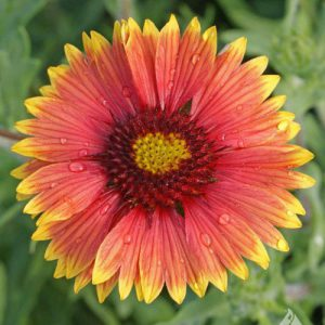 Indian-Blanket-Gaillardia.jpg
