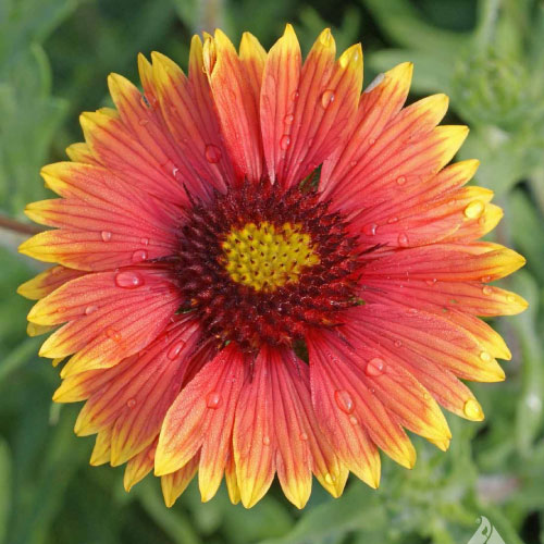 indian blanket flower Indian Blanket Seeds, Gaillardia   Urban Farmer Seeds indian blanket flower