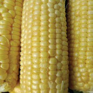 Iochief-Sweet-Corn.jpg