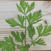 Italian-Flat-Leaf-Parsley-Seeds.jpg