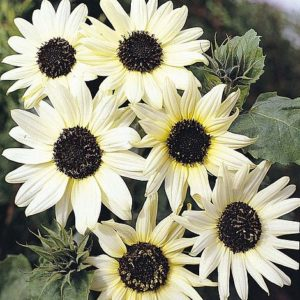 Italian White Sunflower