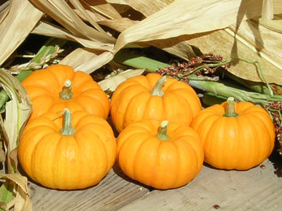 jack be little pumpkin seeds urban farmer seeds