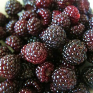 Jewel-Raspberry-Plants.jpg