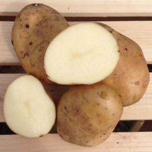 kennebec-seed-potato-cut