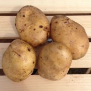 Kennebec-Seed-Potatoes.jpg