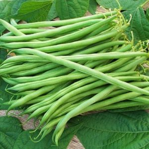 Landreth Sringless Bean Seeds