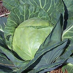Late_Flat_Dutch_Cabbage.jpg