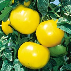 lemon_boy_tomato