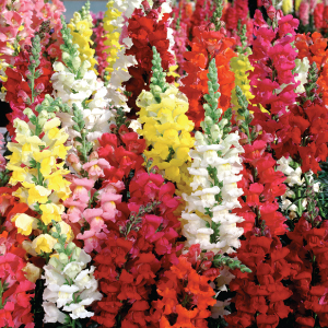 Liberty-Mix-Snapdragon-Seeds.jpg