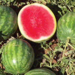 Little-Trip-Seedless-Watermelon.jpg