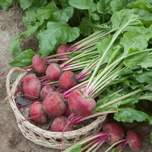 Lutz Green Leaf Pink Stem - Beet