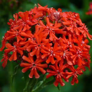 Lychnis_Burning_Love.jpg