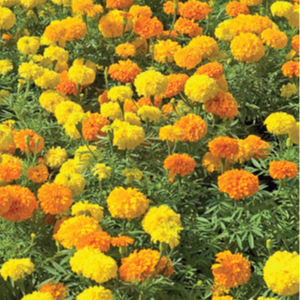 Marigold-Crackerjack-Seeds.jpg