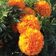 Marigold-Orange.jpg