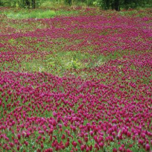 Medium-Red-Clover-Seed.jpg
