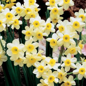 Minnow-Daffodil-Bulbs.jpg