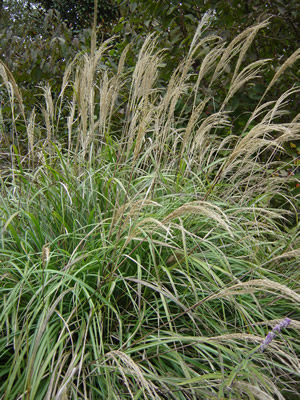 Miscanthus Ornamental Grass Seed Urban Farmer Seeds