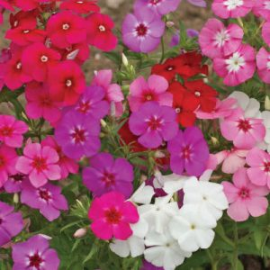 Mixed-Phlox-Seeds.jpg